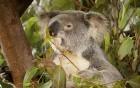 - warum Koalabären keinen Husten haben