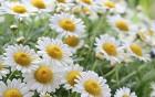 Heilpflanzen - die Kamille