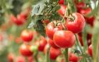 Tomaten können Arteriosklerose vorbeugen
