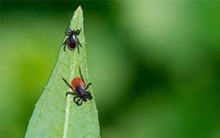 Zecken übertragen immer mehr Krankheiten