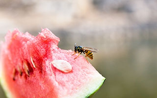 Sommerhitze macht Wespen aggressiv